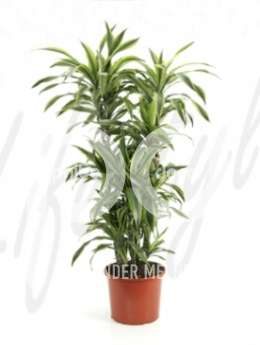 Драцена (Dracaena lemon lime)
